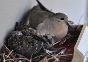 Doves nesting