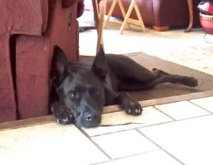 Tired Dutch Shepherd